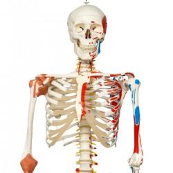 Super Skeleton Sam, on hanging stand