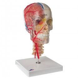 Série des BONElike crânes - Crâne didactique de luxe, 7 parties