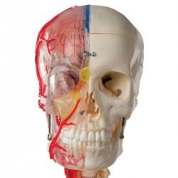 BONElike Skull - Didactic Deluxe Skull, 7 part
