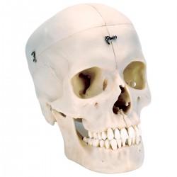 Crâne BONElike™ en 6 parties, structures osseuses détaillées
