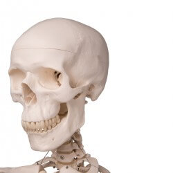 Human Skeleton Model Stan, on pelvic mounted 4 foot roller stand