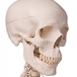 Squelette classique Stan, sur support à 4 roulettes