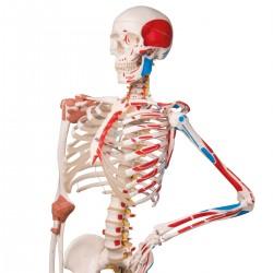 Super Skeleton Sam, on 5 feet roller stand