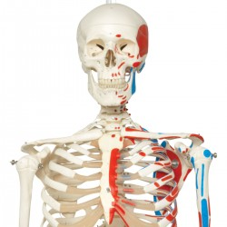 Squelette classique Max avec représentation des muscles, sur support suspendu
