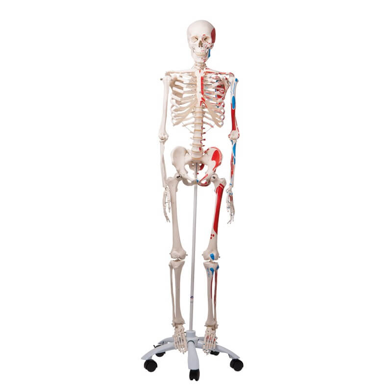 Squelette classique Max, sur support à 5 roulettes