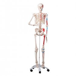 Muscle Skeleton Max, on 5 feet roller stand