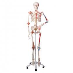 Squelette de luxe Sam, sur...